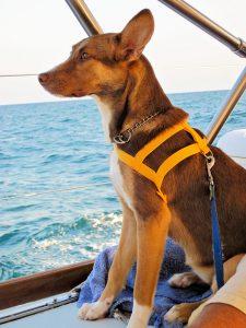 Alert dog under sail