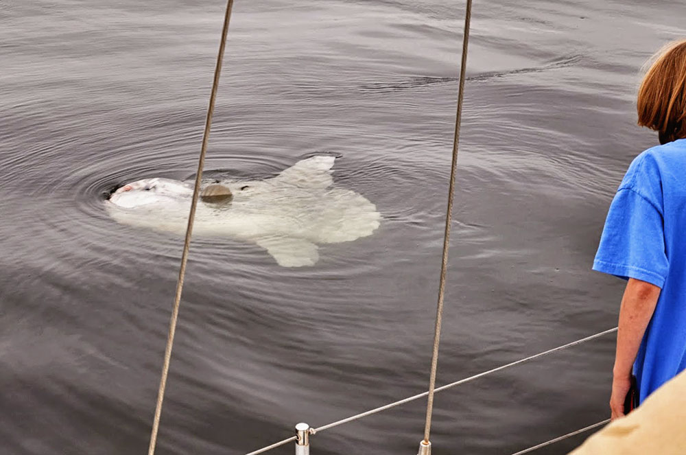 A sunfish passes by a sailboat